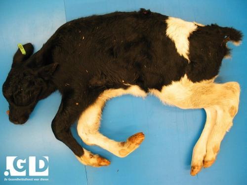 Как сделать переклад болезни на животных