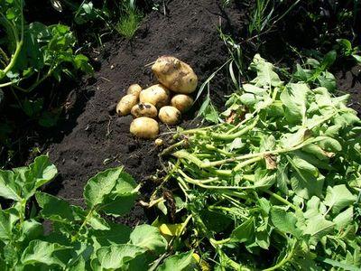 Почему высокая ботва у картофеля